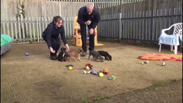 abandoned puppies ready to be rehomed england surrey chobham ext lurcher cross breed puppies released by rspca workers into outdoor pen area - itv london lunchtime news点の映像素材/bロール