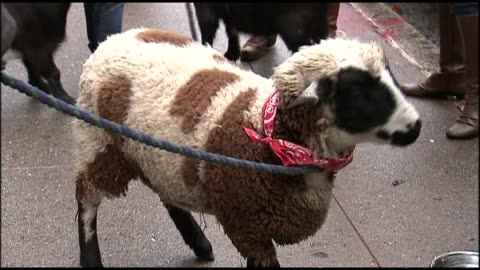 animals and handlers wait outside church for blessing of the animals ceremony on december 09, 2012 in new york, new york - gottesdienst stock-videos und b-roll-filmmaterial