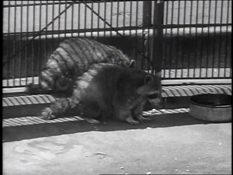 1939 montage animals and the fur coats they are used for / bronx, new york, united states - bronx zoo stock-videos und b-roll-filmmaterial