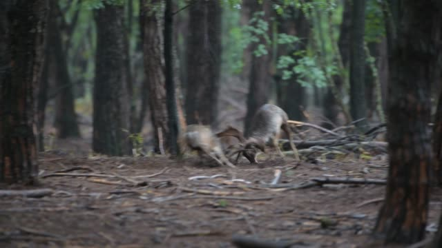 animals and wildlife - fallow deer fighting during mating period in circeo national park in october 15, 2020. - hooved animal stock videos & royalty-free footage
