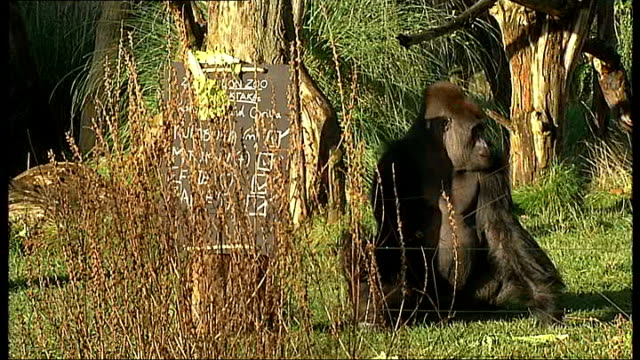 annual stocktake at london zoo zoo keepers putting stocktake sign and food in gorilla enclosure / gorillas along eating in enclosure /wetern lowland... - effie stock videos and b-roll footage
