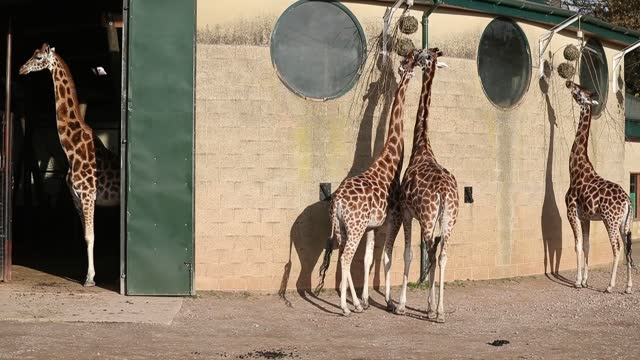 animals are fed at marwell zoo, hampshire, where day to day work running the zoo continues without visitors whilst england is in a four week national... - four animals stock videos & royalty-free footage