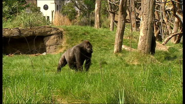 animals at london zoo given ice lollies to help cope with heat: views of animals with ice cubes and lollies; various shots of gorillas in enclosure... - オフビート点の映像素材/bロール