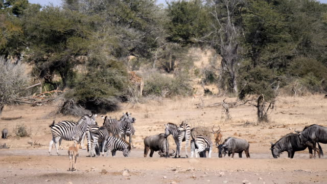 animals at the water hole in kruger national park- zebras, wildebeest, impalas - tropical bush stock videos & royalty-free footage