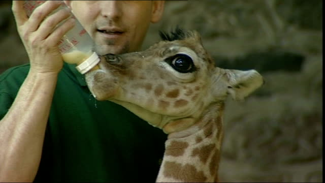 baby giraffe born prematurely at chester zoo england chester chester zoo int prematurely born baby giraffe named 'margaret' in enclosure with adult... - chester england stock videos and b-roll footage