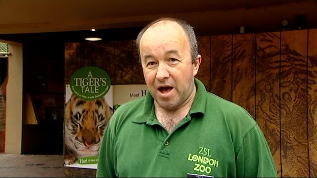 animals: baby tiger born at london zoo; ext tony cholerton interview sot int melati in enclosure as colerton opens hatch and gives her food reporter... - enclosure stock videos & royalty-free footage