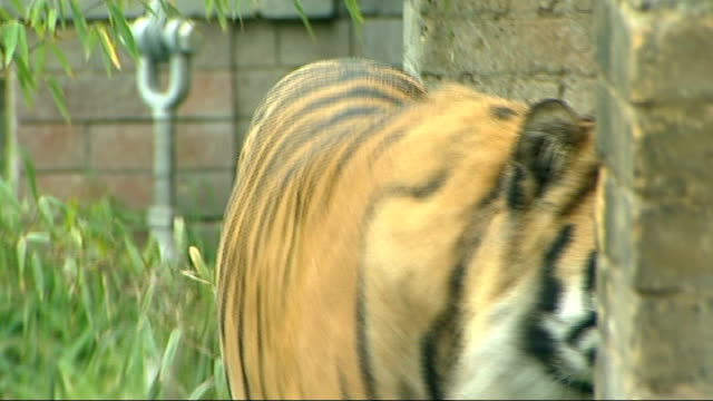 animals: baby tiger born at london zoo; jae jae, the cub's father, in enclosure int people looking into enclosure ext cholerton interview sot cutaway... - segnale informativo video stock e b–roll
