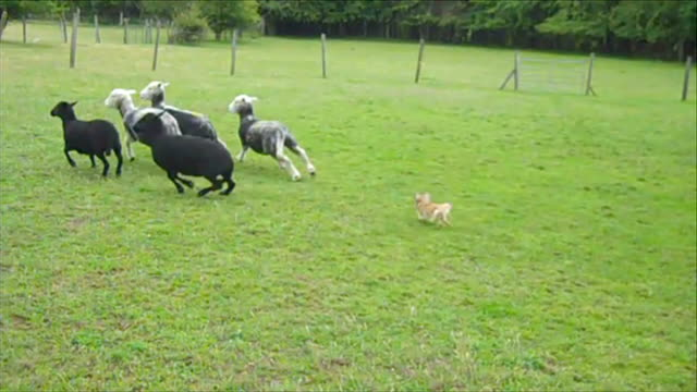 vídeos de stock, filmes e b-roll de chihuahua discovers talent as sheepdog nancy rounding up sheep ends - cão pastor