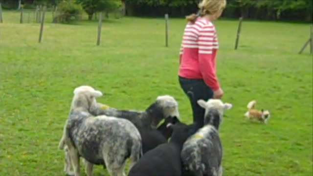 chihuahua discovers talent as sheepdog; woman saying 'good girl nancy' as dog rounding up sheep sot - cagnolino da salotto video stock e b–roll