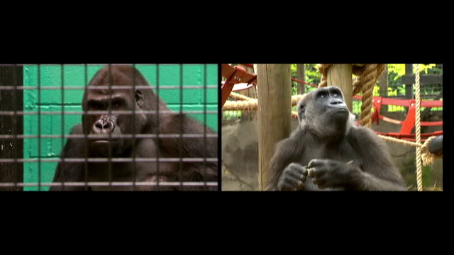 Dimisi the gorilla moves zoos to find partner SPLIT SCREEN SHOTS of Damisi and Buu