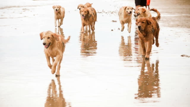 Animals Dogs Golden Retriever on the beach (Super Slow Motion)