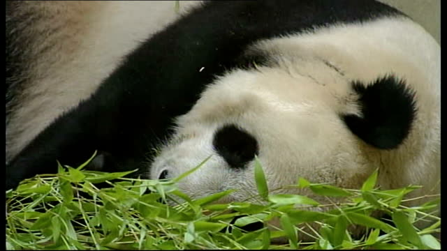 edinburgh zoo giant panda tian tian loses her cub sign saying 'panda viewing closed' shutters at windows on tian tian's enclosure tian tian lying on... - sadness stock videos & royalty-free footage