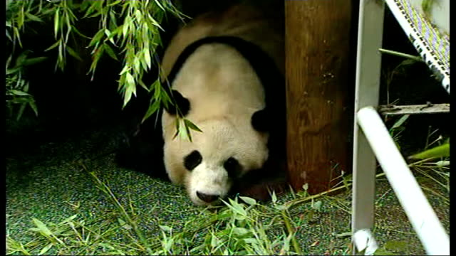 edinburgh zoo panda tiantian is not pregnant; lib / tx **valentine interview partly overlaid sot** giant female panda tian tian lying in enclosure... - zweig stock-videos und b-roll-filmmaterial