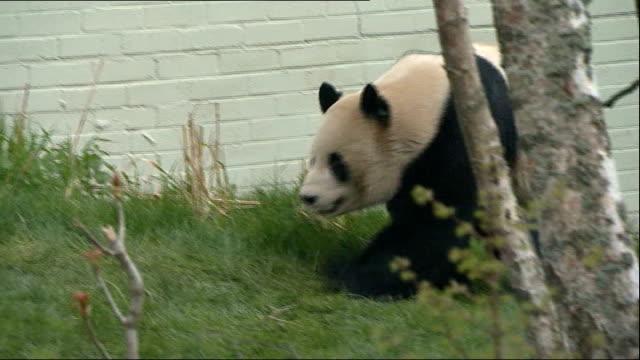 edinburgh zoo pandas not mating; scotland: edinburgh zoo: ext giant panda, yang guang, lying down in his enclosure close shot yang guang yang guang... - panda stock-videos und b-roll-filmmaterial