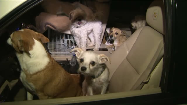 ktla animals evacuated as woolsey fire grows the entire city of malibu are under evacuation as the woolsey fire continues to burn and residents were... - evacuazione video stock e b–roll