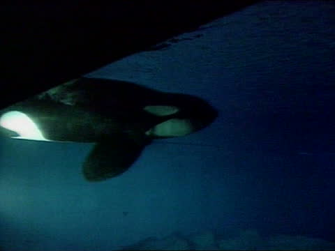 stockvideo's en b-roll-footage met 'free willy' killer whale arrives at new aquarium in oregon; usa: oregon: newport: ext dave phillips intvw sot - keiko doing well to adapt to new... - new not politics