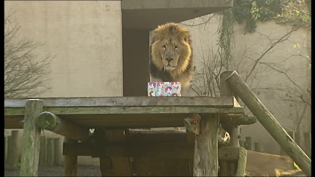 Animals given Christmas treats at London Zoo ENGLAND London London Zoo Reporter to camera Pengiuns in enclosure Monkeys looking in Christmas...