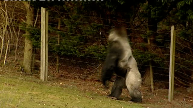 gorilla in kent zoo walks upright ambam away on all fours as stands erect on two feet phil ridges interview sot initially people thought it was a man... - イングランド ケント点の映像素材/bロール