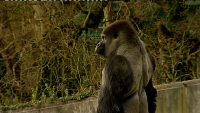 gorilla in kent zoo walks upright: ambam in enclosure; england: kent: port lympne animal park: ext ambam, a western lowlands gorilla, standing erect... - enclosure stock videos & royalty-free footage