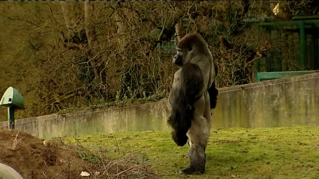 gorilla in kent zoo walks upright england kent port lympne wild animal park ext ambam standing erect on two feet in his enclosure - イングランド ケント点の映像素材/bロール
