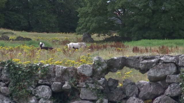 animals grazing at knock shire in knock, county mayo, ireland on august 23, 2018. - environment or natural disaster or climate change or earthquake or hurricane or extreme weather or oil spill or volcano or tornado or flooding stock videos & royalty-free footage