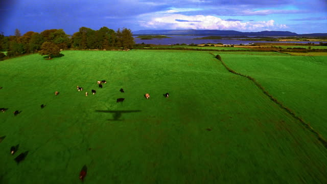 AERIAL animals grazing in green field with ocean in background / airplane shadow on field / Ireland