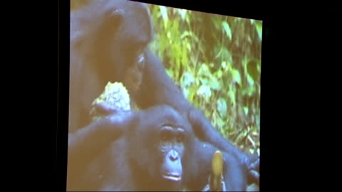 guy the gorilla goes on show at natural history museum: gvs amd interview; close shots of stuffed rabbits in mating pose monitor showing film of... - landschildkröte stock-videos und b-roll-filmmaterial