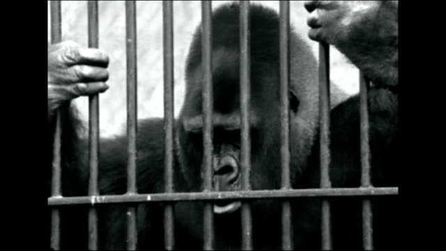 guy the gorilla goes on show at natural history museum tx b/w guy the gorilla eating as sits down in his cage / guy looking out through bars of cage... - 1960 stock videos & royalty-free footage