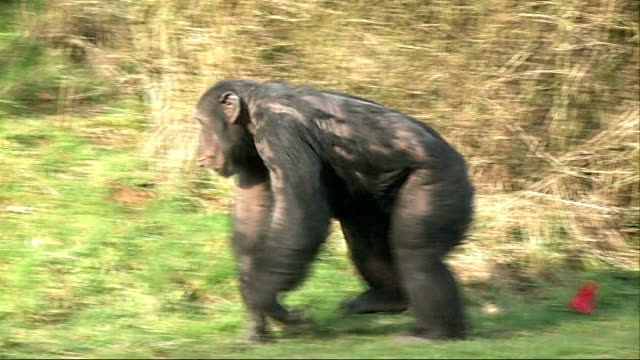gvs chimps at whipsnade zoo in run up to valentines day england bedfordshire whipsnade zoo ext gvs chimps playing with red heart shaped boxes in... - begriffssymbol stock-videos und b-roll-filmmaterial
