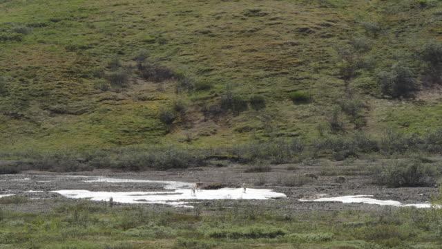 animals in denali national park - denali national park stock videos & royalty-free footage