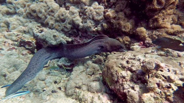 animals in the wild moray eel (gymnothorax javanicus) hunting on coral reef - sea life stock videos & royalty-free footage