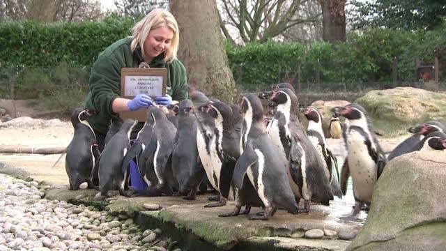 London Zoo annual stocktake 2018 London ZSL London Zoo Various shots of zoo keeper feeding penguins