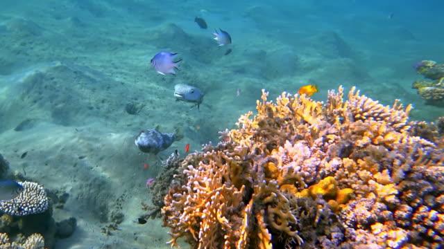動物は紅海の美しいサンゴ礁に2つのスポットフィンヤマアラシキ(ディオドンヒストリックス)の交配儀式 - マルサアラム - エジプト - simply red点の映像素材/bロール