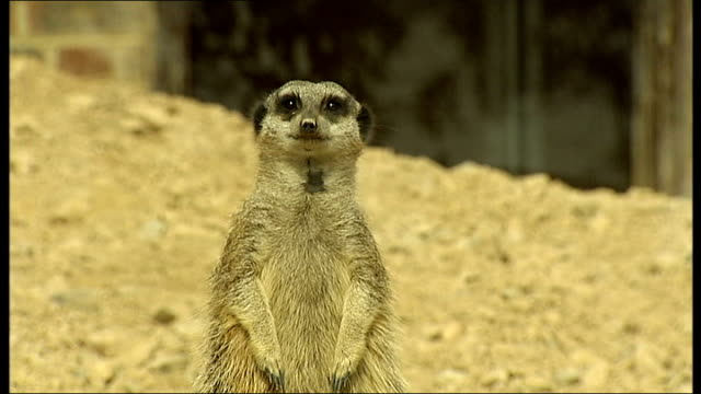 animals measured for london zoo's annual animal weighin england london london zoo ext meercat looking towards meercat on weighing scales in enclosure... - 秤点の映像素材/bロール
