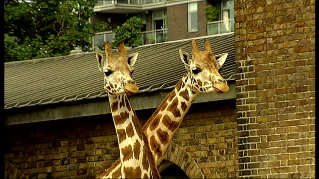 animals measured for london zoo's annual animal weighin two giraffes from the neck up - animal neck stock videos & royalty-free footage