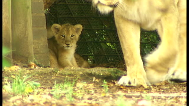 new lion cubs at london zoo two cubs glimpsed beyond mum's legs lioness walks towards one cub ventures out while the other looks on then ventures out... - lion cub stock videos & royalty-free footage