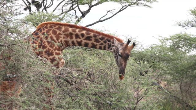 animals of ndutu, tanzania - acacia tree stock videos & royalty-free footage
