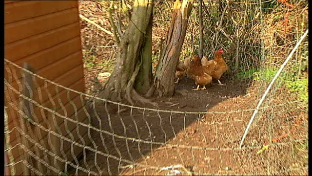 onelegged chicken has fourlegged friend england surrey various of dolly with her friend vippy hens next henhouse heather eden interview sot int dolly... - four animals stock videos & royalty-free footage