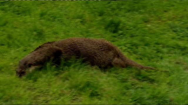 otters return to english countryside; surrey: lingfield: british wildlife centre: otter on grassy bank in wildlife sanctuary - wildlife stock videos & royalty-free footage