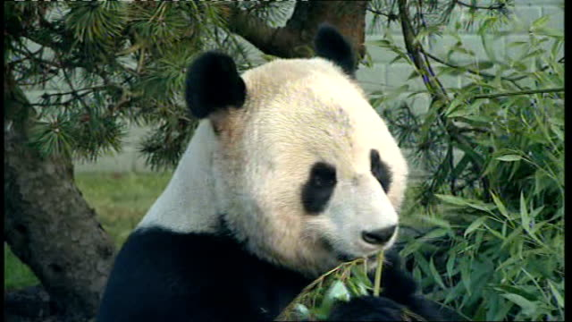pair of giant pandas appear in public for first time at edinburgh zoo; scotland: edinburgh: edinburgh zoo: int giant panda eating bamboo in enclosure... - panda stock-videos und b-roll-filmmaterial