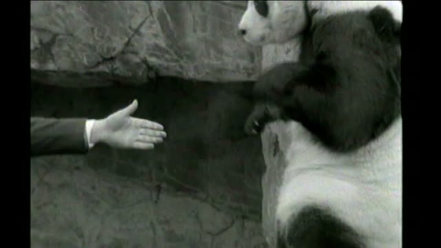 pair of giant pandas lent to edinburgh zoo; 1966 england: london: london zoo: ext giant panda, chi chi, in enclosure with keeper september 1974... - 四旬節点の映像素材/bロール