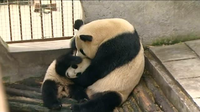 pair of giant pandas lent to edinburgh zoo; china: ya'an: bifengxia panda base: ext panda cub climbing tree in pen female panda with panda cub in pen... - 四旬節点の映像素材/bロール