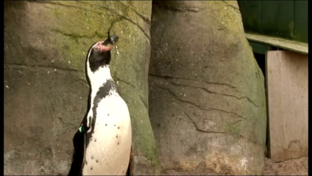 penguins given antidepressants at scarborough sea life centre due to bad weather england north yorkshire scarborough sea life centre ext josh... - scarborough nord yorkshire stock-videos und b-roll-filmmaterial