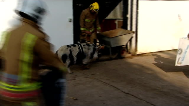 pig recruited by Avon Fire and Rescue Service ENGLAND Bristol HorseWorld EXT Various of firefighters 'herding' escaped pig during training exercise...