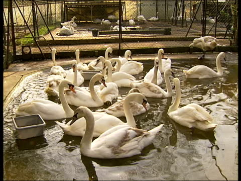 pink swans washing up liquid cure swan sanctuary england berkshire eton ext swans in enclosure at sanctuary some with pink discolouration to feathers... - eton berkshire stock videos and b-roll footage