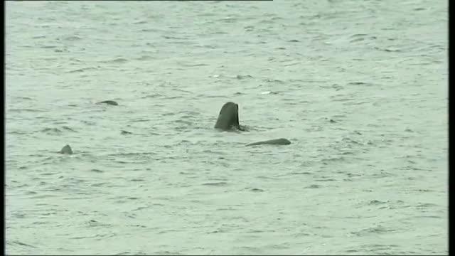 vídeos de stock, filmes e b-roll de pod of pilot whales at risk of stranding off scotland scotland western isles south uist ext various of pilot whales swimming in sea near coastline... - hébridas