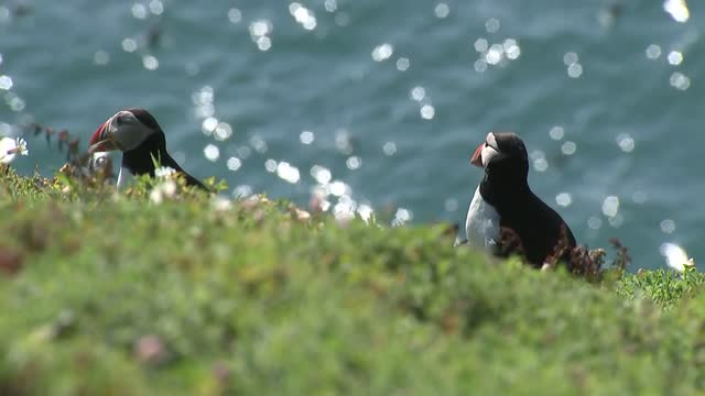 puffin population on island of skomer soars to highest level since wwii; wales: skomer: ext views of the island of skomer from boat as approaching /... - war and conflict stock videos & royalty-free footage