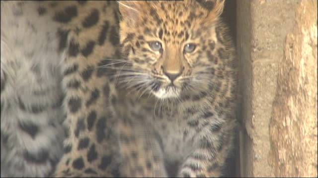 rare leopard cub born at marwell zoo england hampshire marwell zoo ext rare amur leopard cub and mother leopard in doorway of den at zoo sniffs then... - cub stock videos & royalty-free footage