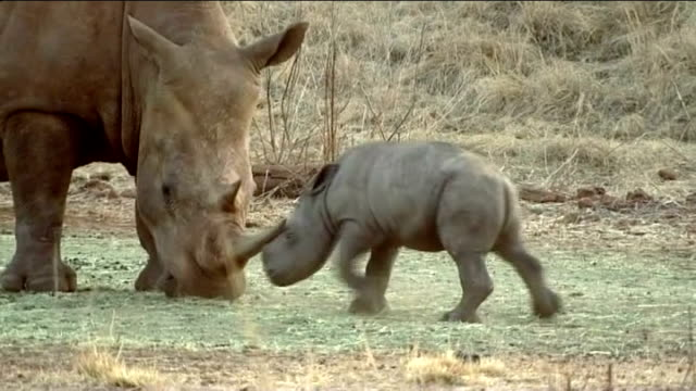 rhinos in southern africa under threat from growing demand for their horns in china south africa kruger national park ext baby rhino next adult... - krüger nationalpark stock-videos und b-roll-filmmaterial