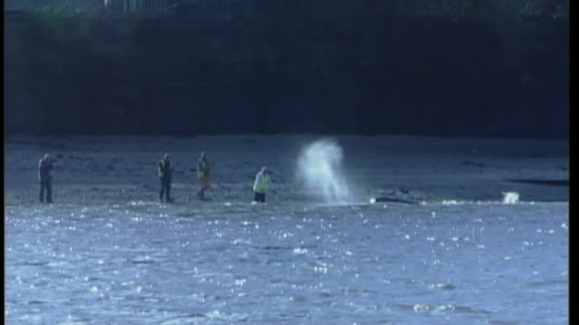 river thames stranded whale 10th anniversary january 2006 people on shoreline of thames trying to 'urge' staranded whale back into main part of river... - hoisting stock videos & royalty-free footage